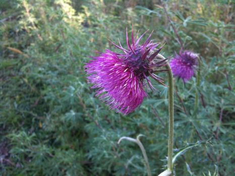 Thistle by McStacey