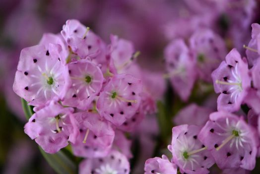 Mountain Laurel by OfTheDunes