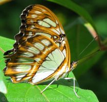 Malachite butterfly, ventral by Simbas-pal