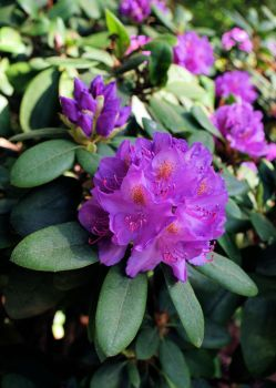 Rhododendron I by NikitaLaChance