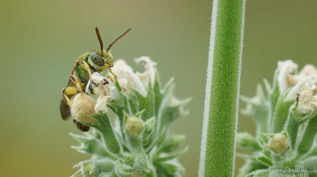 The Catnip and the Sweat Bee by wendy-pellerito