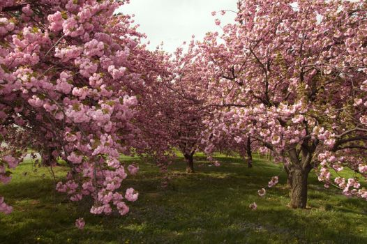 Cherry Blossoms Stock 21 by FairieGoodMother