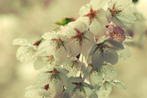 blossom and raindrops by inertia09