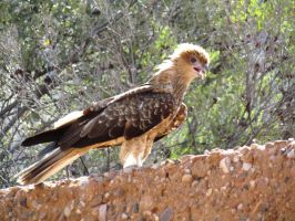 Desert Park - Whistling Kite by TricoloreOne77