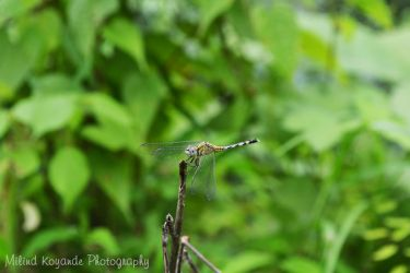 Dragon Fly by maxmk04