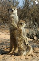 Meerkats of the Kalahari by jaffa-tamarin
