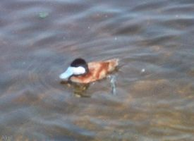 Ruddy Duck by Akril15