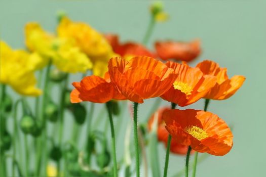 the poppies by hv1234