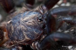Brush-Footed Trapdoor Spider (Barychelidae) by melvynyeo