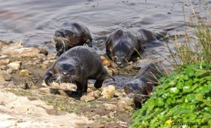 The otters are coming by jaffa-tamarin