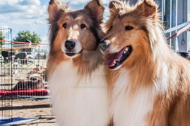Collies by NBrownPhotography