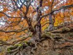 Two oaks with mighty roots, red autumn foliage by zeitspuren