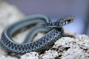 Florida blue stripe garter by MinionofSloth