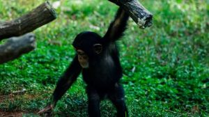 Chimp Curiosity by MoonGazer9