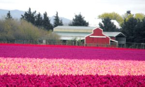A Barn In The Tulip Field III by Photos-By-Michelle