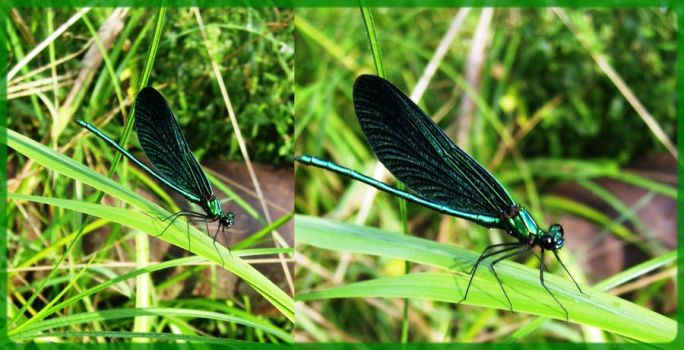 dragonfly by agnese9