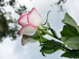 STOCK Rose 1 by Inilein