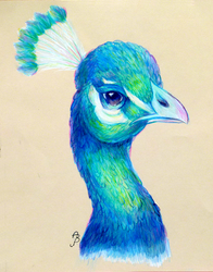 Indian Peacock by ImmortalTanuki