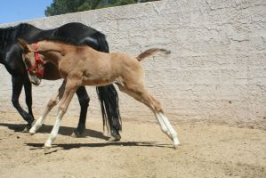 Foal 2 by Mustang4-Stock