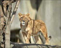 Light Of The Lioness by suezn