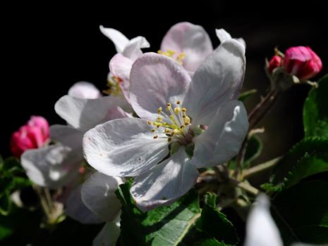 May Apple Blossom by Forestina-Fotos