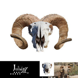 Horned sheep skull by Julianez