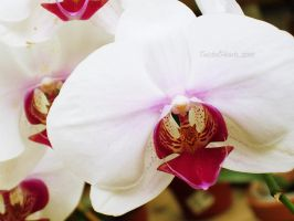Tiger Orchid. by TwistedHearts