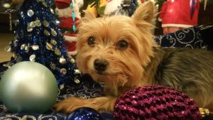 Pretty the Yorkie by mandyblue