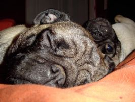 Pugs in bed by smeggy22