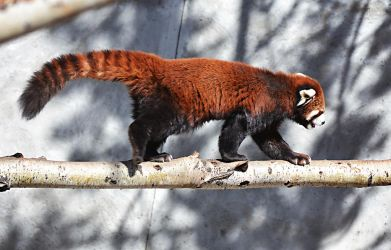 Red Panda 2 by lululoser