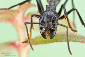 Bullet ant by ColinHuttonPhoto