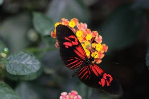 Butterfly stock 2 by Indrawn-stock