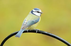 Blue tit by MaresaSinclair