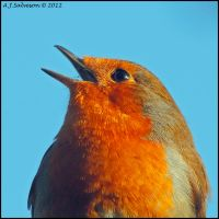 Robin Close Up. by andy-j-s