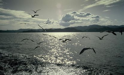 Seagulls of the Pacific by Suppi-lu-liuma