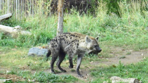 Spotted Hyena by Leviarex
