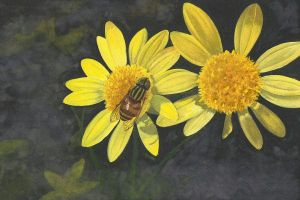 Syrphid Fly resting on the flower by aakritiarts