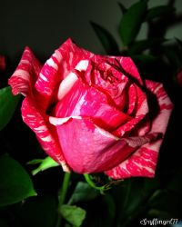 Pink Tiger Rose for Happiness by Gryffingirl77