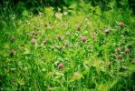 clover by EmilyPrudent