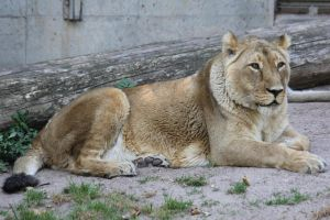 Lion Stock 01 by Malleni-Stock