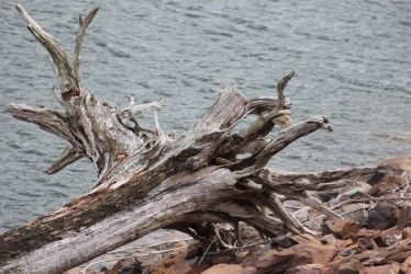 Driftwood by Pugio-Signifer