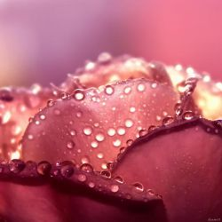 ..Rosa.. by gomit