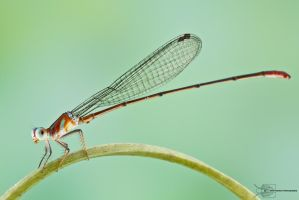 Damselfly by ColinHuttonPhoto