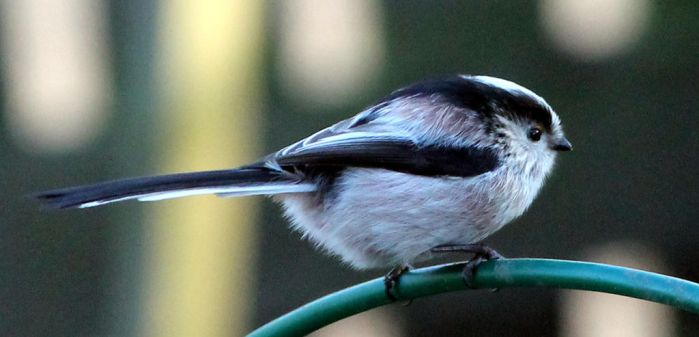 Little titmouse, alias long tailed tit by karliosi
