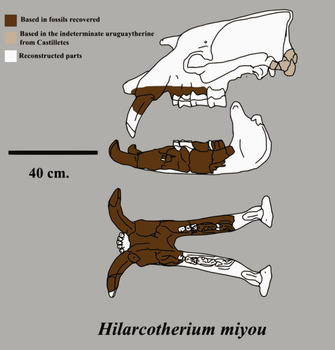 Hilarcotherium miyou skull by Zimices