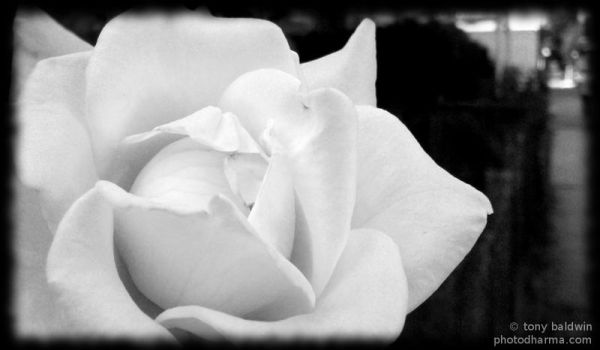 white rose by abaldwin