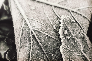 frosty leaf by FluttiDesigns