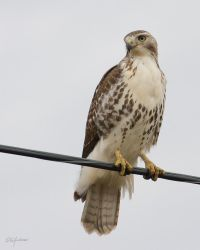 Redtail on a wire by DGAnder
