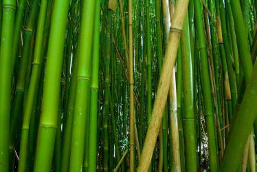 Bamboo by sean335