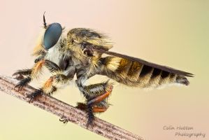 Robber fly - Megaphorus minutus by ColinHuttonPhoto